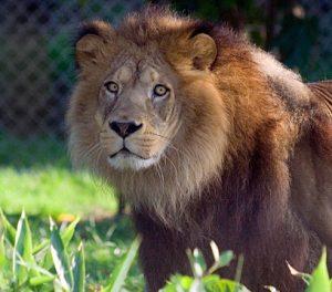 Camping Les Alouettes : Lion De L'atlas A (ksabi 3 Quart) Zoo Des Sables S Silhol